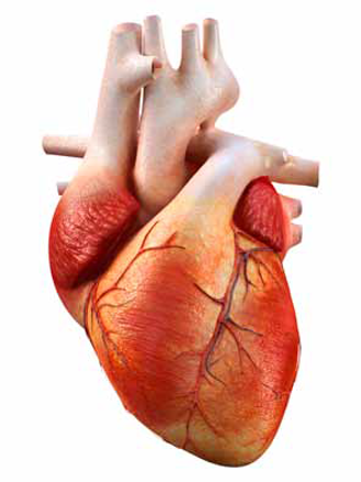hjerte og blodårer